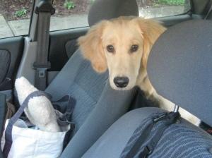 Golden Retriever Puppy in Car
