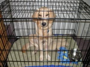 Golden Retriever Puppy in a Crate
