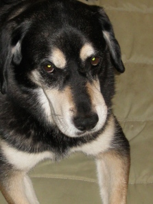 Hound and German Shepherd Mixed Breed Dog