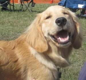 Golden Retriever Puppy Smiling